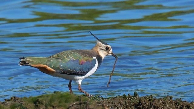 На фото: українська чайка (чибіс)